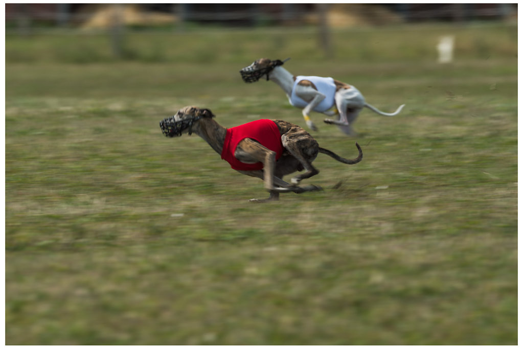 greyhound coursing